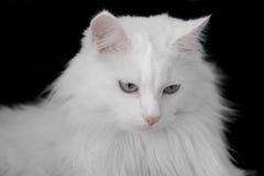 Gatto bianco di angora Fotografie Stock