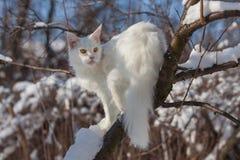 Gatto bianco di coone di Maine nell'inverno e nella neve Fotografia Stock