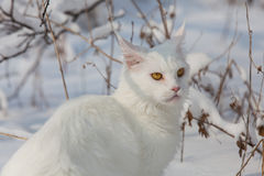 Gatto bianco di Maine Coon nella neve selvaggia Fotografia Stock
