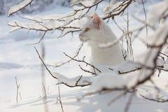 Gatto bianco di Maine Coon nella neve selvaggia Fotografie Stock Libere da Diritti