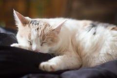 Gatto bianco di sonno Immagini Stock