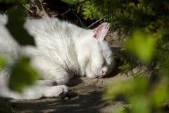 Gatto bianco di sonno Fotografia Stock Libera da Diritti