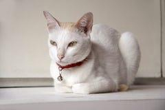 Gatto bianco e colore arancio sulla testa che indica sulla tavola bianca Fotografie Stock Libere da Diritti