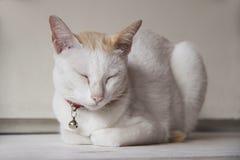 Gatto bianco e colore arancio sulla testa che indica e vicina gli occhi sulla tavola bianca Fotografie Stock Libere da Diritti