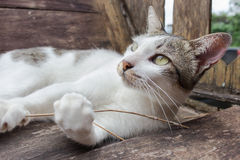 Gatto bianco e grigio Fotografia Stock Libera da Diritti