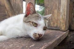 Gatto bianco e grigio Fotografie Stock Libere da Diritti