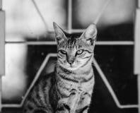 Gatto in in bianco e nero Fotografia Stock
