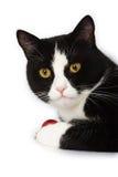 Gatto in bianco e nero Immagini Stock Libere da Diritti