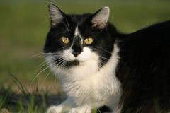 Gatto in bianco e nero che espone al sole nell'erba Fotografia Stock Libera da Diritti