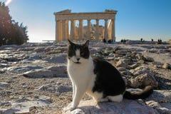 Gatto in bianco e nero che prende il sole davanti alla facciata orientale del Partenone in acropoli, Atene, Grecia Fotografia Stock