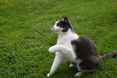 Gatto in bianco e nero che si siede nell'erba e sollevato una zampa su Fotografie Stock Libere da Diritti