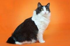 Gatto in bianco e nero che si siede sul fondo arancio fotografia stock