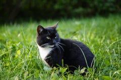 Gatto in bianco e nero che si siede sull'erba Fotografia Stock