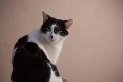 Gatto in bianco e nero con gli occhi gialli Immagini Stock Libere da Diritti