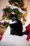 Gatto in bianco e nero davanti all'albero di Natale Immagini Stock