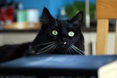 Gatto in bianco e nero di Ragdoll e libri vaghi Fotografie Stock