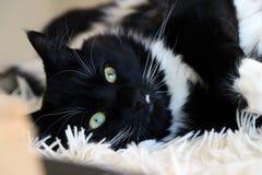Gatto in bianco e nero di Ragdoll sulla coperta lanuginosa che esamina macchina fotografica Fotografia Stock