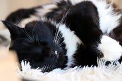 Gatto in bianco e nero di sonno Ragdoll sulla coperta lanuginosa Immagine Stock Libera da Diritti