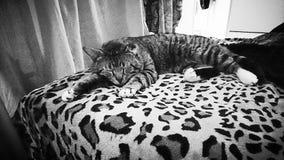 Gatto in bianco e nero soriano/di Torbie su una coperta della stampa della pantera Fotografia Stock Libera da Diritti