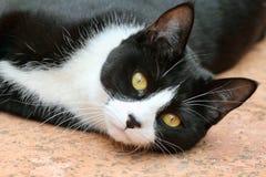 Gatto in bianco e nero sveglio dello smoking Immagini Stock