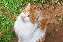 Gatto bianco e rosso Immagini Stock Libere da Diritti