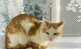 Gatto bianco e rosso che si trova sul davanzale Fotografia Stock