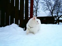 Gatto bianco e un orario invernale Fotografia Stock