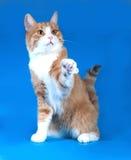 Gatto bianco lanuginoso con i punti rossi che si trovano sul blu Fotografia Stock