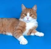 Gatto bianco lanuginoso con i punti rossi che si trovano sul blu Fotografie Stock