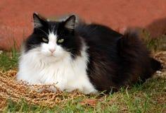 Gatto bianco nero dell'animale domestico Fotografie Stock