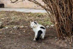 Gatto bianco nero senza tetto vicino al cespuglio immagini stock