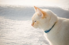 Gatto bianco in neve Fotografie Stock Libere da Diritti