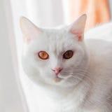 Gatto bianco puro Fotografia Stock Libera da Diritti