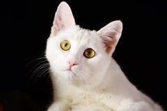 Gatto bianco puro isolato su fondo nero Fotografia Stock Libera da Diritti