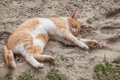gatto Bianco-rosso che si trova sulla sabbia Fotografia Stock Libera da Diritti
