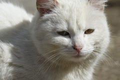 Gatto bianco senza casa Fotografia Stock