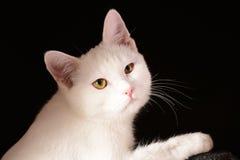 Gatto bianco su fondo nero Fotografia Stock