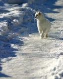 Gatto bianco su neve Immagini Stock Libere da Diritti