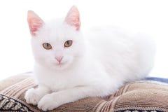 Gatto bianco su un bacgroung bianco Fotografia Stock Libera da Diritti
