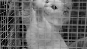 Gatto bianco sveglio che gioca la gabbia di ferro interna al riparo dell'animale domestico, adozione animale senza tetto archivi video