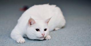 Gatto bianco sveglio su moquette Immagini Stock Libere da Diritti