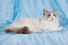 Gatto bicolore blu di Ragdoll Fotografie Stock Libere da Diritti