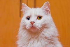 Gatto bicolore di bianco dell'occhio Fotografie Stock Libere da Diritti