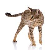Gatto bicolore di Brown su un fondo bianco Fotografia Stock Libera da Diritti