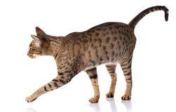 Gatto bicolore su un fondo bianco, vista laterale di Brown Fotografia Stock