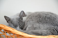 Gatto blu britannico che dorme in un canestro fotografie stock libere da diritti
