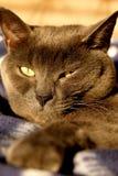 Gatto blu britannico che stairing alla macchina fotografica fotografia stock libera da diritti