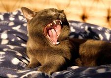 Gatto blu britannico che stairing alla macchina fotografica Immagini Stock Libere da Diritti
