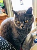 Gatto blu dai capelli corti britannico fotografia stock libera da diritti