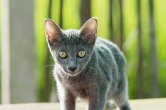 Gatto blu di Siames Fotografia Stock